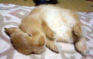 sleeping_bunny